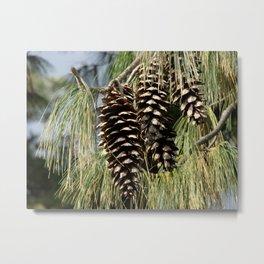 Pinecones  Metal Print