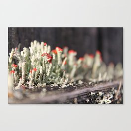 Red-tipped Lichen II Canvas Print