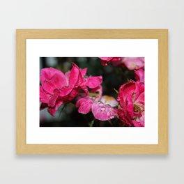 Dew Drops on Roses Framed Art Print