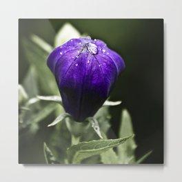 Fresh Raindrops on Purple Metal Print
