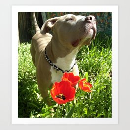 A pit bull and his tulips Art Print