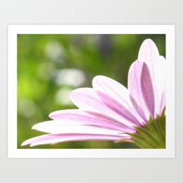 Pink African Daisy in the Light Art Print