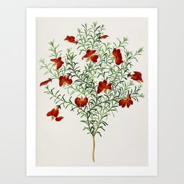 Red leschenaultia (Lechenaultia formosa) illustrated by Charles Dessalines D' Orbigny (1806-1876) Art Print