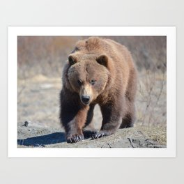 Alaskan Grizzly Bear - Spring Art Print