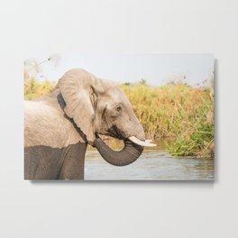 Elephant Feeding In Rover Metal Print