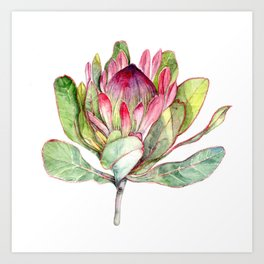 Protea Flower Kunstdrucke