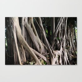 Banyan Trees Canvas Print