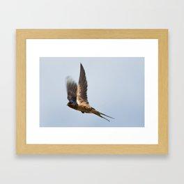 Male barn swallow in flight Framed Art Print