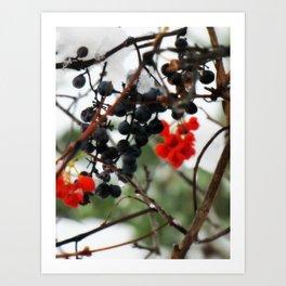 Winter Berries. Art Print