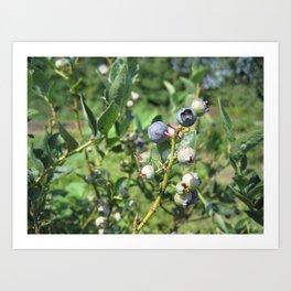 Blueberry Plant Art Print