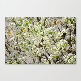 this year's blossoms Canvas Print