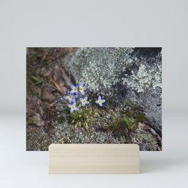 Thyme Leaved Bluets #2 Mini Art Print
