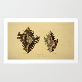 Vintage Print - Arcana or The Museum of Natural History (1811) - Triplex Shells Art Print