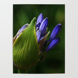 Newborn Lily of the Nile Flower Poster
