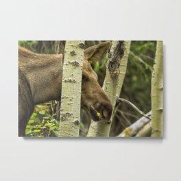 Hiding in Plain Sight - Moose Calf Metal Print