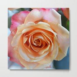 A gorgeous rose in full bloom Metal Print