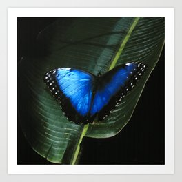Costa Rican Blue Morpho Butterfly Art Print