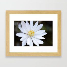 Bloodroot Framed Art Print