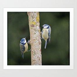 Blue Tit ( Cyanistes caeruleus) Art Print