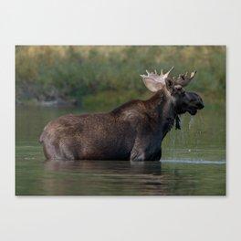 Moose On The Lake Canvas Print