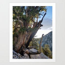 Ancient Bristlecone Pine Forest #3 Art Print