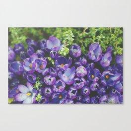 Crocus Blooms Canvas Print