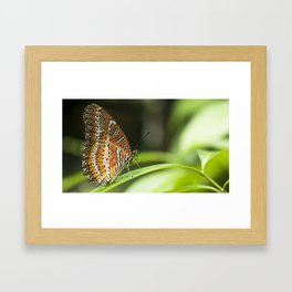 Macro photograph of a lacewing butterfly taken in Malaysia. Framed Art Print