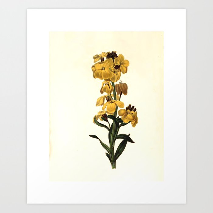 """Wild wall-flower from """"The Moral of Flowers"""" (1833) by Rebecca Hey Art Print"""