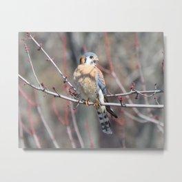 Angry Sparrowhawk (Kestrel) 4 Metal Print