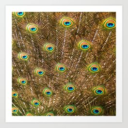 Peacock Feathers in Full Display Art Print