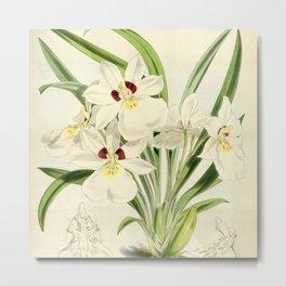 Miltoniopsis roezlii Metal Print