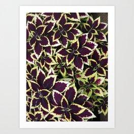 Coleus Plant Leavs Art Print