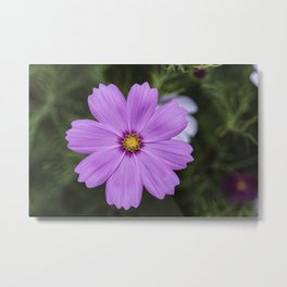Purple Cosmos closeup Metal Print