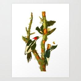 Ivory-billed Woodpecker Art Print