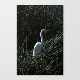 Great White Heron in Reeds Canvas Print