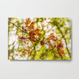 Maple blooms Metal Print