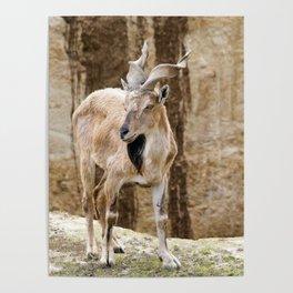 Markhor Screw Horn Goat Poster