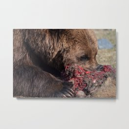 Hungry Alaskan Grizzly Bear - Eating Raw Meat Metal Print