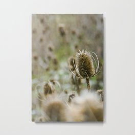 {a sea of teasels} Metal Print
