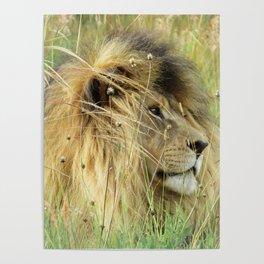 Leo Panthera African lion Poster