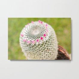 Cactus flowering pink detail blossoms Metal Print