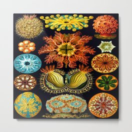 Sea Squirts (Ascidiacea) by Ernst Haeckel Metal Print