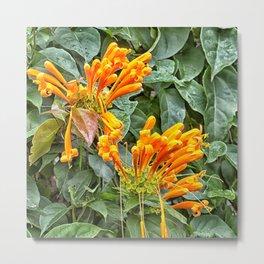 Orange trumpet flower Metal Print