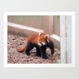 Chongqing Red Panda | Panda roux Art Print