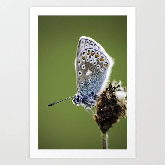 Common Blue Butterfly 2 Art Print