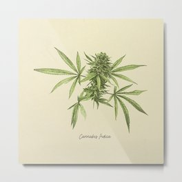 Vintage botanical print - Cannabis Metal Print