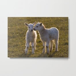 Cute little lambs Metal Print