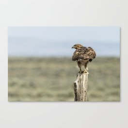 Red-Tailed Hawk Preparing to Fly Canvas Print