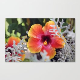 Hibiscus and Dusty Miller Canvas Print