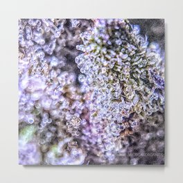 Top Shelf Grand Daddy Purple Close Up Buds Trichomes View Metal Print
